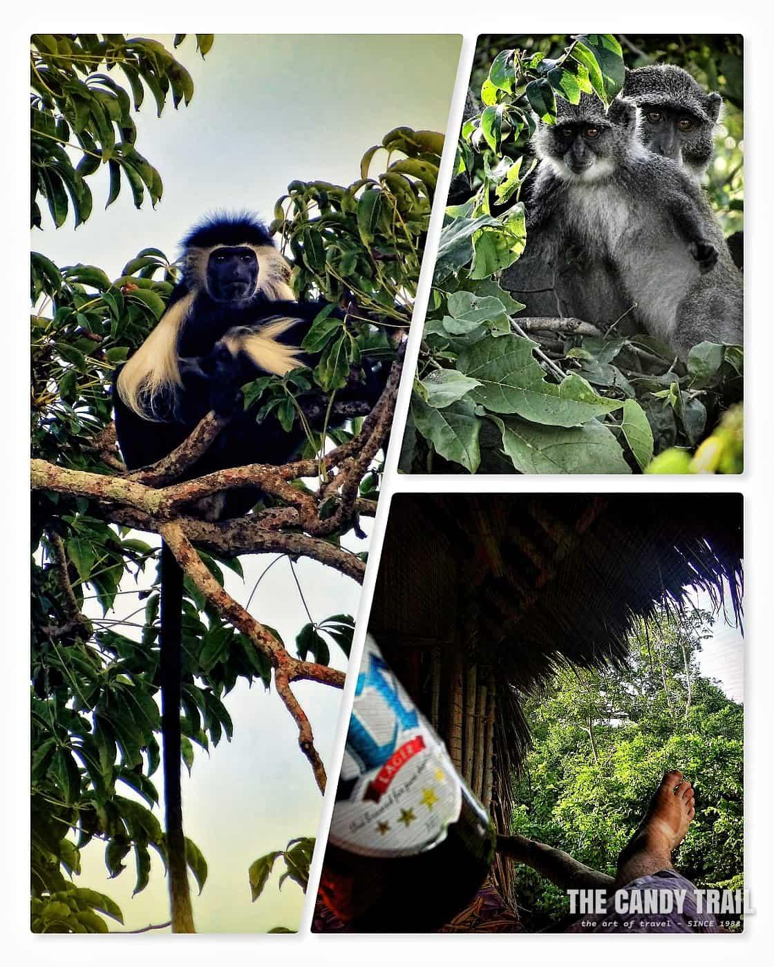 monkeys swahili coast of kenya
