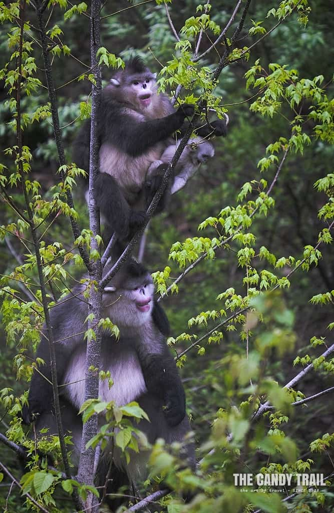 Yunnan's unique snub-nosed white monkeys at Dian Jing Si National Park