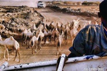 camels on route moyale-marsabit-kenya
