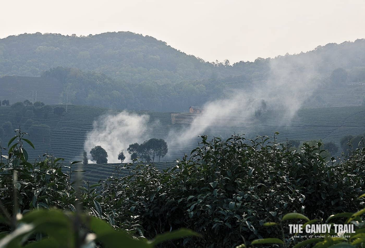 tea plantations of xishuangbanna